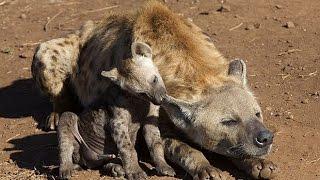Дикая Африка. Гиеновидные собаки.