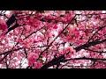 Sakura (Sakurada Seiko) [FREE ORIENTAL TRAP BEAT]