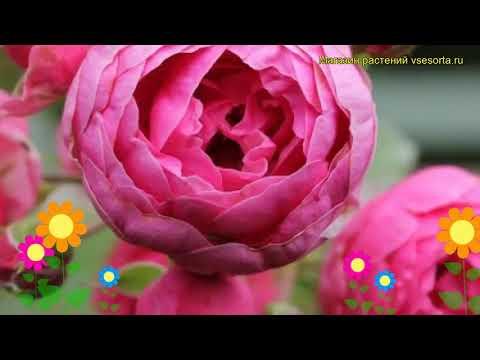 Роза кустовая Помпонелла. Краткий обзор, описание характеристик, где купить саженцы Pomponella