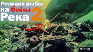 Реакция рыбы на бoйлы 2 Река Подводная съёмка