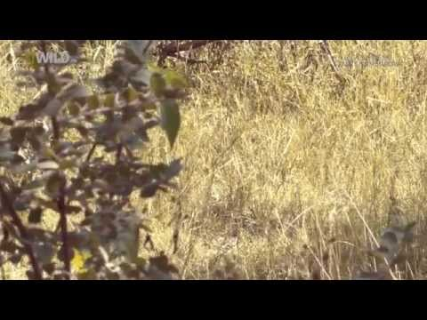 Documentary Natural Animals Leopard In Africa 2015 Full HD