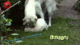 Kuvasz Dog #02 - Puppy Love