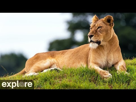 Live Lion Cam - watch HD video of Lioness Nikita | Explore org
