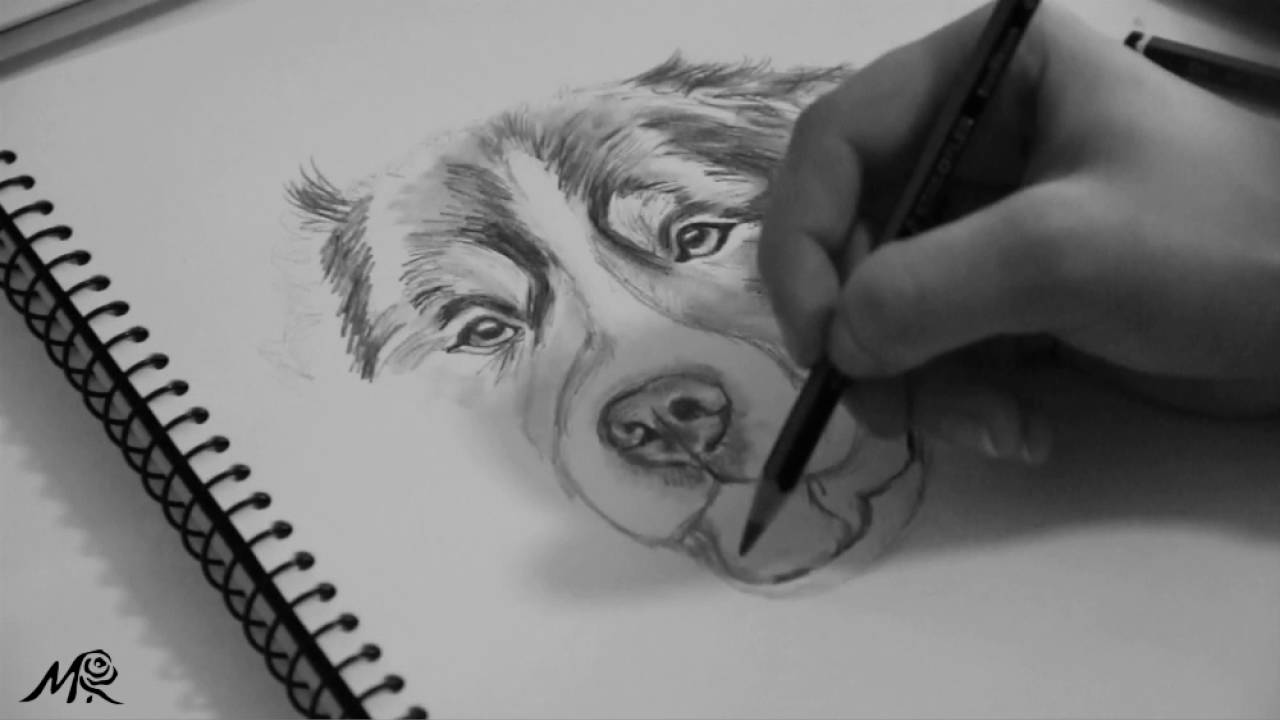 Bernese Mountain Portrait Speed Drawing