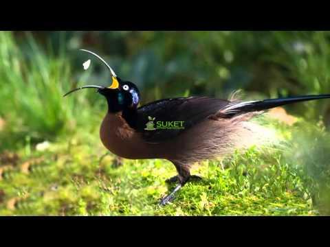 Suara Burung Cendrawasih  Paruh sabit cokelat brown sicklebill Epimachus meyeri MP3