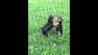 Akc Male Yorkie Puppies