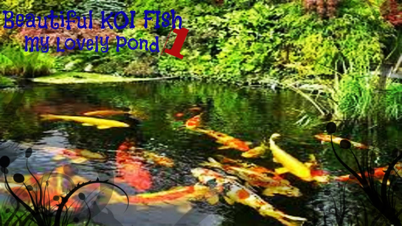 Beautiful koi fish in my lovely pond youtube for Beautiful koi ponds