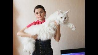 Ангелесса 3 года, красавица белая мейн-кун / питомник ЛИРИКУМ