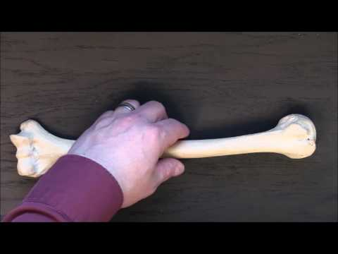 Gross Anatomy - Bones of upper limb and muscle attachments