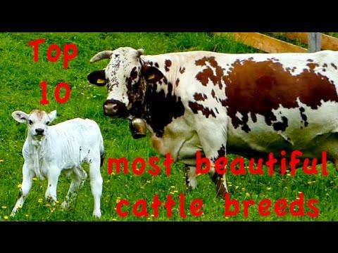 Top10 Most Beautiful Cattle Breeds - Jersey, Dutch Belted Galloway, Higland, Heck, Belgian Blue Cow