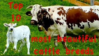 Video Top10 Most beautiful cattle breeds - Jersey, Dutch Belted Galloway, Higland, Heck, Belgian Blue cow download MP3, 3GP, MP4, WEBM, AVI, FLV November 2017