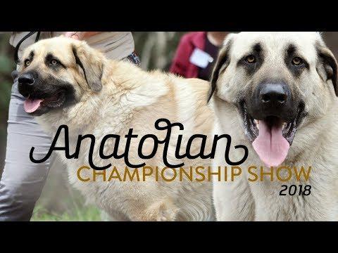 Anatolian Shepherd Dog Championship Show 2018