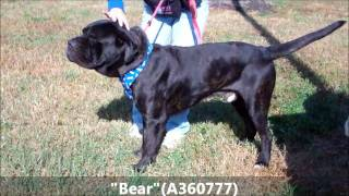 ADOPTED!!!   'BEAR' 4 YR OLD NEO MASTIFF/CANE CORSO MIX . A REAL SWEETHEART (A360777)