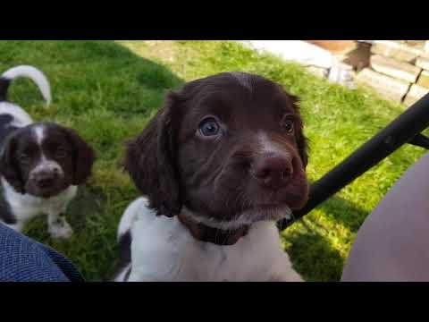 6 Week Old English Springer Spaniels Puppy puppies Puppys out in the garden