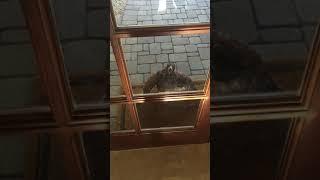 朝起きてみたら想定外のお客さんが!ドアのところで叫んでいるタカにビックリ
