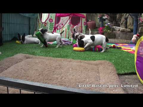 Frug Puppies For Sale Youtube