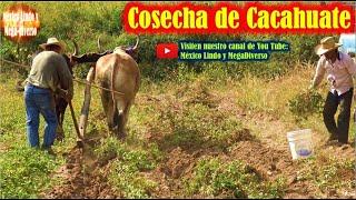 Asi se Cosecha y Arranca el CACAHUATE en mi pueblito en Oaxaca