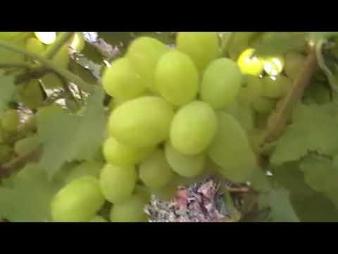 """Сорт винограда """"Галахад"""" - сезон 2017"""