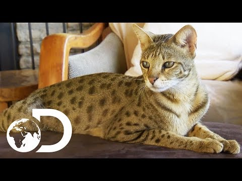 The Savannah: The Largest Domestic Cats in the World | Cats 101