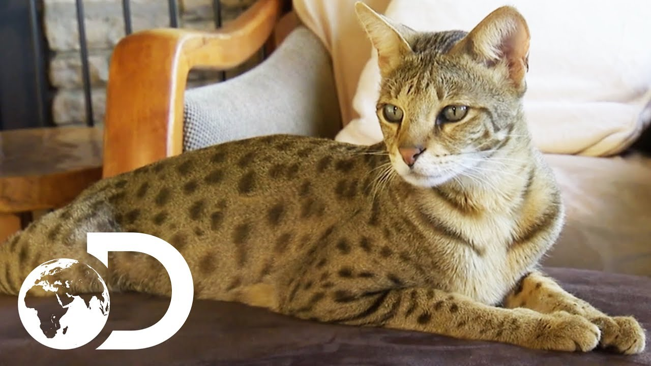 The Savannah The st Domestic Cats in the World