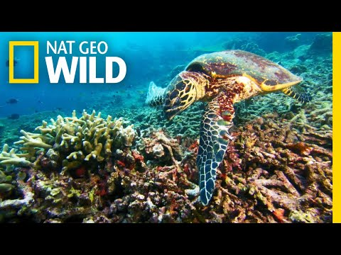 A Sea Turtle's Journey to a Nesting Ground | Nat Geo Wild