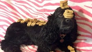 Amazing Bella Boo The Balancing Dog