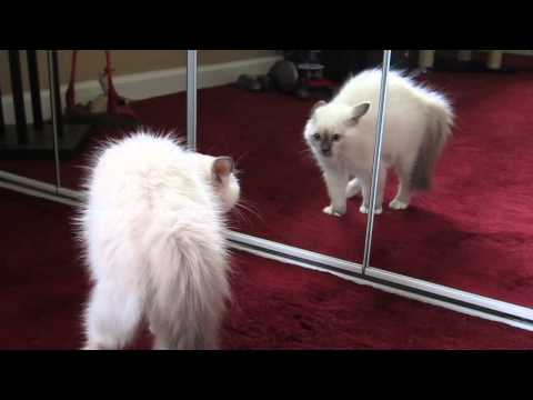 Birman Kitten Sees Reflection - First Time