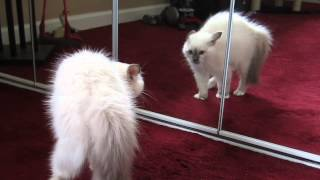 Birman Kitten Sees Reflection - First Time