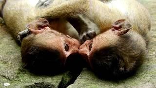 Incredible love monkeys baby kissing / So sweet \u0026 lovable kisses of Polino\u0026Maddix monkeys baby