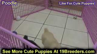 Standard Poodle, Puppies, For, Sale, In, Houston, Texas, Tx, Mcallen, Mckinney, Mesquite, Plano