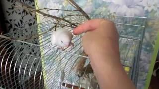 Волнистый попугайчик, супер ласковая малышка