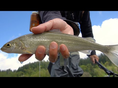 The LEAST Targeted Gamefish Of British Columbia: Lure Fishing For MOUNTAIN WHITEFISH