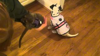 My Kinkajou And Dalmation Puppy Playing