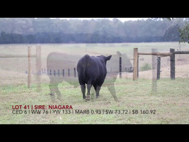 Edgewood Angus Lot 41