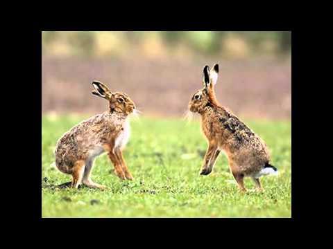 Чем заяц отличается от кролика ?