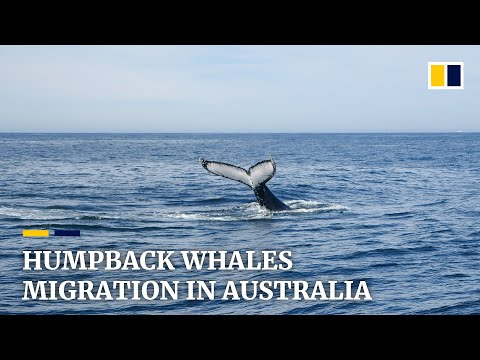 Migrating Humpback Whales Help Revive Town In Australia Amid Covid-19 Pandemic