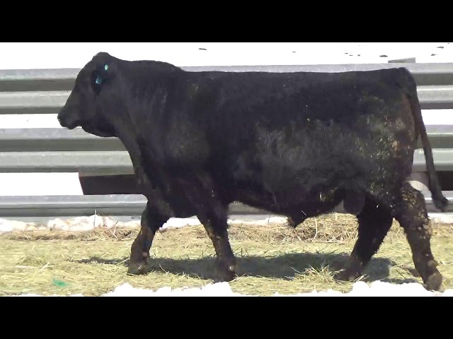 Connealy Angus Lot 414