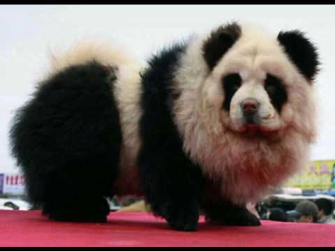 chow chows and panda chow chows youtube