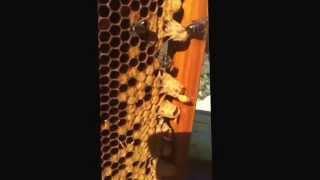 Captura De Abejas Reinas: Colmenares De Vendejo. Apicultura.