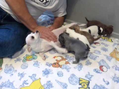 Chihuahua Puppies  - 4 16 15 lola pups