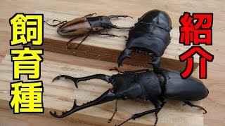 【クワガタ カブトムシ生活】 飼育種とブリードルーム紹介します! 【stag beetle】