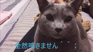全然鳴かない猫(ロシアンブルー) thumbnail