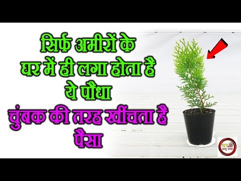 ✔सिर्फ-अमीरों-के-घर-में-ही-लगा-होता-है-ये-पौधा,-चुंबक-की-तरह-खींचता-है-पैसा- -thuja-plant