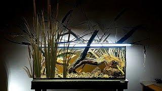 ДИКИЙ окунь в аквариуме спустя неделю. Добавил камыш