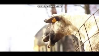 compilation de bruit bizarre de chèvre