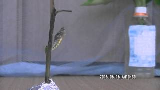 2015.6.16に羽化したアゲハチョウの瞬間です。 ビデオで録画したままで...