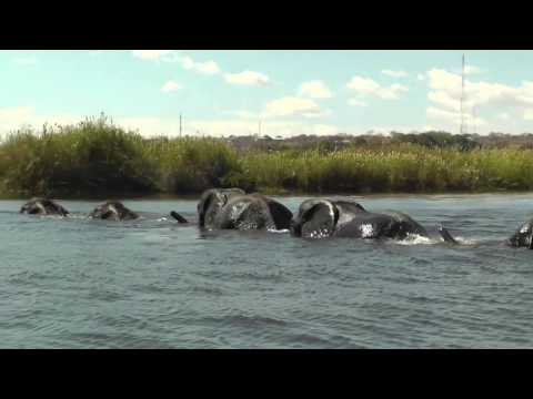 Family of Elephants Swim Across The Chobe River, Botswana, A