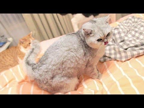 【花花与三猫】主人痛斥猫咪床上撒尿,为了证明自己,它又当面撒了一次......