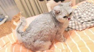 主人痛斥猫咪床上撒尿-为了证明自己-它又当面撒了一次