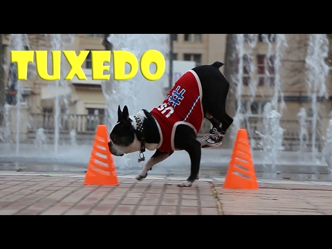 Amazing Dog handstand ZigZig the poles